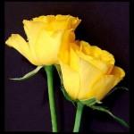 rose jaune 3