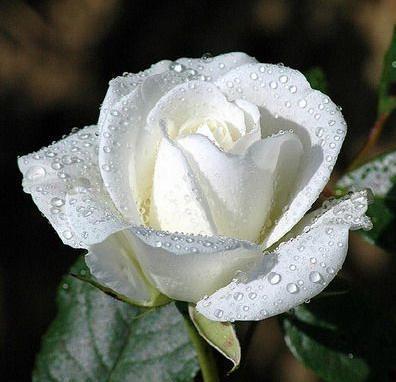 """Résultat de recherche d'images pour """"rose blanche merci"""""""